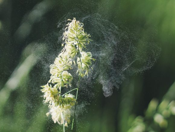 pollen being released from a grass